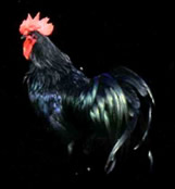 黒柏鶏の写真